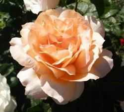 rosen_5