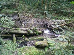 Ehrbachklamm: Malerisch drapiertes Totholz